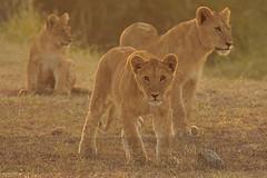 Cachorros de Leon (Lion Cubs) - Serengeti NP - Tanzania (Gaston Maqueda) Tags: lion leon cachorro africa serengeti serengueti tanzania safari cats mammals mamiferos animales animals fauna wild salvaje nature naturaleza