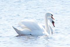 Swans (tiina.harjunpaa) Tags: swan animal bird sea ocean birdlife birds view myview nature mothernature finland kokkola photography photo canon spring water white blue outdoor together love