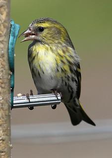 Siskin on feeder