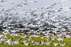 DWW01258.jpg (dennwaf) Tags: snowgeese birds waterfoul snohomishvalley wa sonya6500
