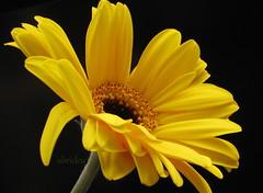Gerbera (abrideu) Tags: abrideu canon yellow gerbera depthoffield bright macro flower indoor plant ngc npc