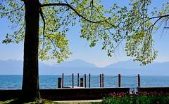 Au bord du lac (Diegojack) Tags: morges vaud suisse paysages léman ponton parc indépendance fêtedelatulipe tulipier virginie