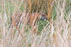 1015 Day 6 Tigers (brads-photography) Tags: india male nationalpark pacman pantheratigristigris rajasthan ranthambore royalbengaltiger sawaimadhopur sideon t85 tiger tigerreserve walking wildlife