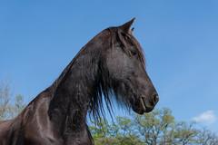 Frison_6338 (lucbarre) Tags: frison cheval horse chevaux horses extérieur exterior jour