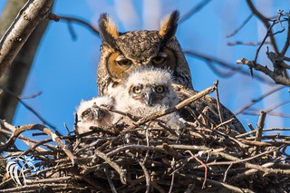 Great Horned Owls of New Jersey | 2017 - 12