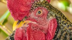 El Gallo (Vídeos Tenerife) Tags: gallo tenerife almaciga videostenerife