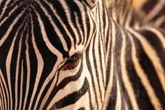 Sunday Stripes. (Poulomee Basu) Tags: outdoor tranquil beautiful lightroom nikond90 nikon wildlifephotographer wildlifephotography wilderness wild wildlife stripes herd serengeti herbivore sunday sunset zebra