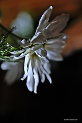 _DSC0450 Sábado de Gloria- Explore#15-04-2017 (Aprehendiz-Ana Lía) Tags: fotografía flickr blanco sábadodegloria gloria flores pétalos flor argentina nikon margarita etérea frágil explore macro