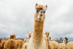 medina-7690 (FarFlungTravels) Tags: alpaca animal farm medinacounty onefineday shear wool