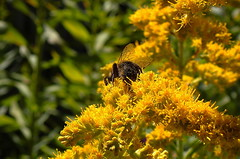 Bottoms Up in a Maze of GOLD (Lani Elliott) Tags: homegarden flower flowers bumblebee bottomsup macro upclose closeup close goldenrod bokeh yellow gold green light bright radiant glowing color colour colourful yellowflowers golden goldenflowers