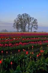 Wooden Shoe Tulip Farm, Woodburn, OR (Terra Nova Images) Tags: flowers tulips spring sunrise woodburn oregon pacificnorthwest moon dawn tulipa blooms wooden shoe tulip farm