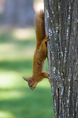 Ecureuil roux (JeanJoachim) Tags: écureuilroux sciurusvulgaris rodentia sciuridae jardindesplantesdetoulouse pentaxk5ii smcpentaxf300mmf45edif redsquirrel écureuildeurasie eichhörnchen