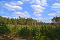 Glade with young pines (МирославСтаменов) Tags: russia moscowregion glade plantings cutting sky cloudscape pine margin forest sapling tree