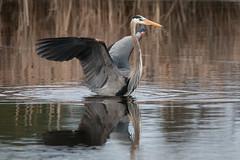 Great Blue Heron (NicoleW0000) Tags: greatblueheron wild wildlife photography ontario bird