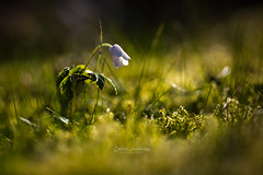 Spring time (CecilieSonstebyPhotography) Tags: anemonenemorosa april canon canon5dmarkiii ef100mmf28lmacroisusm markiii anemone bokeh closeup flower flowers grass green hvitveis leaves macro moss petal petals smellfox spring thimbleweed windflower woodanemone ngc npc