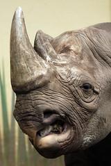 puntlipneushoorn blijdorp JN6A3439 (joankok) Tags: rhino rhinoceros blackrhinoceros zwarteneushoorn puntlipneushoorn mammal zoogdier dier animal africa afrika blijdorp