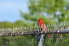 Cardinal. (Reed 1949) Tags: cardinal bird fence trees sky red outdoors florida nikon nikond5200 tamron18270mm