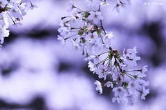 _Q9R1180 (Dream Deliver) Tags: cherry cherryblossom flowers korea ngc