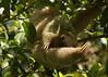 Perezoso de tres dedos | Brown-throated three-toed sloth (Bradypus variegatus)