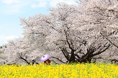 桜と菜の花 (* Yumi *) Tags: 桜 菜の花 昭和記念公園 sakura spring japan