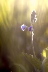 . (Xavier Ligonnet (Daftlive)) Tags: springtime grass flower flowers bokeh macro flare sun sunset gold golden goldenhour purple green cute beautiful blue