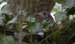 Not Really Alone ... (Andy & Helen :-) :)) Tags: thrush bird chick fledging nest handheld canon 400mm birds springtime spring nature wildlife british uk