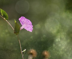 Happy Easter (Kim's Pics :)) Tags: flower leaf purple illuminating sunshine light bokeh warm sunny radiant mexico