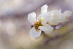 Magnolia (CecilieSonstebyPhotography) Tags: bokeh spring flowers closeup flower ef100mmf28lmacroisusm outdoor canon botaniskhage markiii oslo macro beautiful canon5dmarkiii magnolia botanicalgarden soft white april ngc npc