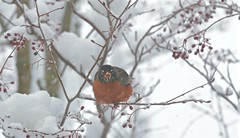 Grumpy Cold Robin with a Berry in its Beak (smilla4) Tags: bird robin wildlife tree berries snow april maine