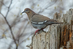White-winged dove (Earl Reinink) Tags: spring migration bird birds animal nature naturephotography earl reinink earlreinink ontario nikond5 dove whitewingeddove zouaauhdia