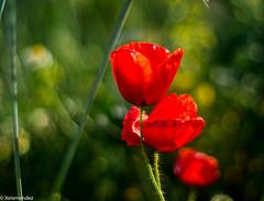 Poppies (xelemendez) Tags: poppies amapolas rojo 14deabril málaga
