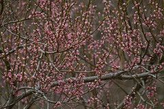 Peach Tree in Bloom (brucetopher) Tags: peach blossoms peachtree tree floweringtree flowering flower peaches blossom bud spring hopeful beauty beautiful nature dazzle 7dwf