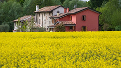Rapeseed (Massimo Buccolieri) Tags: landscape rural spring yellow rapeseed