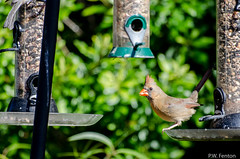 Female Cardinal tail up (PDub) Tags: cardinal female