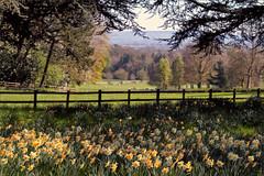 Daffs at Ascott House (meniscuslens) Tags: dafodils countryside sunshine trees fence plants flowers green ascott national trust buckinghamshire