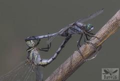 White- Tailed Skimmer - Orthetrum albistylum (Selys, 1848) ( BlezSP) Tags: kyrgyzstan sokuluk dragonflies whitetailedskimmer centralasia odonata