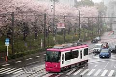 Streetcar and Cherry blossom (Ichigo Miyama) Tags: 桜と都電 cherryblossom streetcar toden 桜 サクラ 都電荒川線 都電 tokyo