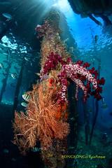 Seafan and Soft Coral under the jetty (kayak_no1) Tags: nikon d800e nauticamhousing 15mmsigmafisheye fisheye ysd1 underwater underwaterphotography wa wideangle diving scubadiving uw rajaampat indonesia coral softcoral seafan jetty