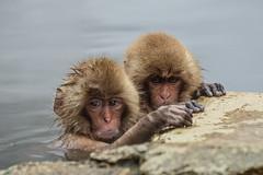 Nagano - Jigokudani - 20 (coopertje) Tags: japan nagano snowmonkey monkey jigokudanimonkeypark jigokudanijaenkoen sneeuw snow sneeuwmakaak macaque japanesemacaque cold onsen hottub hotspring water