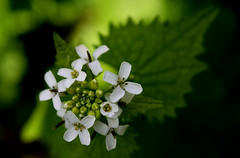 Topview on tiny flowers of Garlic mustard (Myk499 - Pure & Simple.) Tags: myk499nikond3300 closeup nature outdoor nikon1855mm plant macro flora flowers