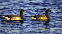 Heading North (joegeraci364) Tags: canadian animal bird calm fowl geese goose marsh migrate migration nature pair peace pond quiet reed scenic season serene spring swim two water waterfowl wild wildlife brant