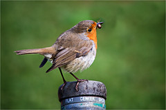 Robin with spider (Trudie S) Tags: robin spider lunch garden