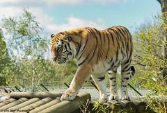 Tiger_Amur06.jpg (Mick J F Armstrong) Tags: 2017 amurtiger april bangladesh bhutan india myanmar nepal paradisewildlifepark siberiantiger tiger