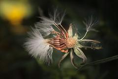 (Marcello-dell'Aquila) Tags: seeds semi bokeh natura fiori macro dandelion