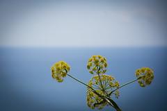 Crithmum maritimum (Ciuschina) Tags: crithmum maritimum mare azzurro giallo fiori