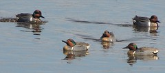 Green-winged Teals (Two Cats Productions) Tags: