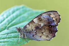 Waldbrettspiel │ Speckled wood │ Pararge aegeria (Bluesfreak) Tags: schmetterlinge tagfalter waldbrettspielparargeaegeria