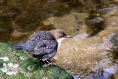 Dipper, near nest site on Bollin (claylaner) Tags: dipper cincluscinclus bird water river bollin styal cheshire canon5dmk4 sigma150600mmlens