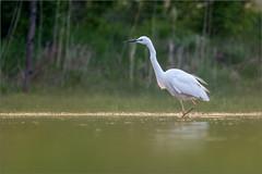 DSC_5825a (Viktor Honti) Tags: nikon d7100 tamron 150600 wildlife nature bird hungary egretta alba