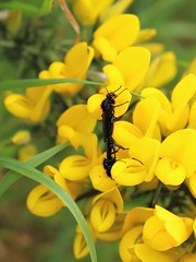 Love is in the air .... (JulieK (enjoying Spring in Co. Wexford)) Tags: hhd hihd stmarksfly gorse wexford insect diptera fauna invertebrate ireland irish beautifulnature mating canoneos100d flowers